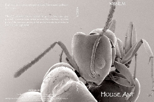 Discover House Ants